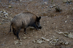 wild sow (peter.vrab2) Tags: look scrofa monster brown one hunt nature predator european tusk outdoor risk wild creature male animal meat feed standing environment nose wildlife danger pork dangerous forest pig boar piggy fear sus mammal attack