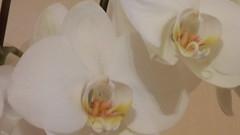 Orchideen (Richie Beverly) Tags: blumen pflanzen orchideen blüten flowers plants orchids natur nature