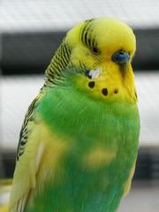 Budgerigar (male) (sander_sloots) Tags: melopsittacusundulatus budgerigar grasparkiet bird parrot budgie parkiet parakeet vogel mannetje male volière wellensittich papegaai