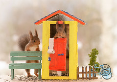 Red squirrels are standing in and beside a outhouse (Geert Weggen) Tags: squirrel red animal backgrounds bright cheerful close color concepts conservation culinary cute damage day earth environment environmental equipment love photo model toilet greattit toiletpaper wc outhouse bicycle bispgården jämtland sweden geert weggen hardeko ragunda