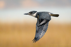 Belted Kingfisher in Flight (Kevin James54) Tags: alcedinidae beltedkingfisher nikond850 tamron150600mm wilmington animals avian bird fortfisher kevingianniniphotocom