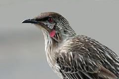 Wattlebird! (Uhlenhorst) Tags: 2015 australia australien animals tiere birds vögel travel reisen ngc