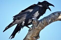 Raven call (thomasgorman1) Tags: raven black bird birds scavenger nature desert nikon outdoors hiking mexico mx wildlife