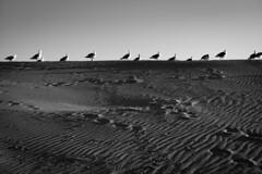 *** (Misha Sokolnikov) Tags: vanice beach losangeles la california ca venice seagull birds bird leica leicamonochrom black blackandwhite 50mm noiretblanc aposummicron asph sunset sand