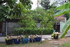 dead banana plants (the foreign photographer - ฝรั่งถ่) Tags: trash baskets dead banana plants our house bangkhen bangkok thailand nikon d3200