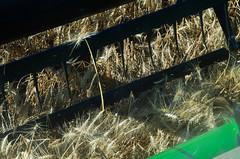 Wheat Harvest (Bracus Triticum) Tags: wheat harvest アルバータ州 alberta canada カナダ 10月 十月 神無月 かんなづき kannazuki themonthwhentherearenogods 平成30年 2018 autumn october