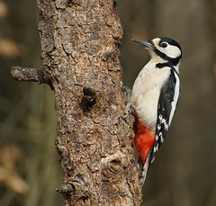 DSC09175A (simonbalk523) Tags: woodpeckers birds wildlife wildbirds british nature sussex miller woods forest sony photography