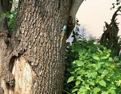 Blue-Headed tree Agama. Lagarto Agama de Cabeça Azul. Kruger Park. South Africa. Jan/2019 (EKatBoec) Tags: hingback tortoise rock monitor crocodile rainbow skink marsh terrapin leopard flapnecked chameleon blueheaded tree agama
