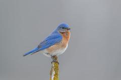 Eastern Bluebird (Joe Branco) Tags: green joe branco bluebierd nikon d850