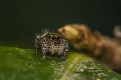 Jumping Spider (mon_ster67) Tags: mon ©mon jumper spider boldjumpingspider jumpingspider canon arachnid arthropod arachnida crawler oooo o00o macro closeup upclose macrophotography