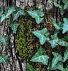 Three Plants (Neal3K) Tags: henrycountyga georgia plants tree bark moss lichen treetrunk macro