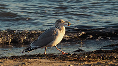 I have found a treasure (Ostseeleuchte) Tags: ifoundatreasure treasure meinschatz möwe seagull gull balticsea ostsee walkingseagull iamwalking
