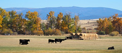 Reappearing Cattle (Eclectic Jack) Tags: eastern oregon trip october 2018 rural agriculture farm farming autumn fall mountains irrigation abandoned house structure home cattle hay fencedfriday friday fence fenced