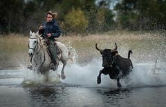 In Full Action (MrBlackSun) Tags: blackbull bull southfrance camargue guardian gardian nikon d810