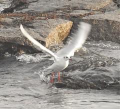 Rockpool Take-Off - Newbiggin Beach (Gilli8888) Tags: gull seagull newbigginbythesea newbiggin blackheadedgull bird northumberland sea northsea nikon p900 coolpix coast coastal seabirds rocks rockpool water birdsinflight