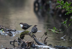 Dippers-9520 (seandarcy2) Tags: birds river dippers parkend uk handheld wild wildlife