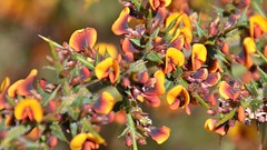 Busch mit Blüten im Grampians Nationalpark (Sanseira) Tags: australien australia nationalpark grampians blüten busch pflanze