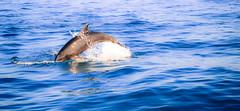 Dolphin in Bahia de Banderas (julienjustamon) Tags: baleine whale ballena delfin dauphin dolphin bahiadebanderas mexico mexique ocean pacifique pacifico