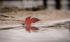 A Walk on the Beach (SimplyAmy74) Tags: autumn autumncolors lakecoeurdalene lake lakecabin coeurdalene pacific pacificnorthwest iloveidaho idaho idahostate exploring exploreidaho sony sonya7 beachpictures beautiful beach happiness reflection leaves leaf explore