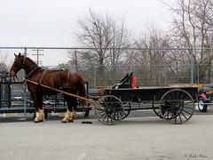 Work Wagon. (~~Chuck's~~Photos~~) Tags: chucksphotos canonsx60 amish wagon horse fence hff outdoors winter parkinglot exploringkentucky kentuckyphotos ourworldinphotosgroup earthwindandfiregroup photosthruyourlensgroup solidarityagainstcancergroup