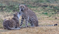 002_Cheetahs.jpg (Howard Sumner) Tags: phoenixzoo cheetah arizona bigcat phoenix zoo animal
