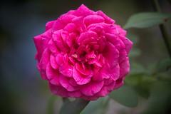 34489399003_bf498b60b0_o (huy.hpq) Tags: 20d canon mf hoa huyhpq flower