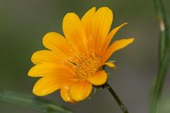 When it's raining (Sergio D. Crivelin Junior) Tags: flower flor fleur jardim garden nature natureza canon 350d wow galery brazil