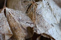 With Love Regardless (Katrina Wright) Tags: dsc3128 leaves skeletonleaves winter tenderness love death infinity dry fragile