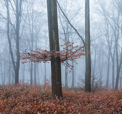 Misty Beech Trees (Rachel Dunsdon) Tags: 2019 hampshire blackwood forest beech