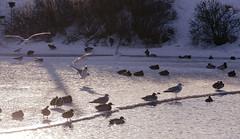 Jäälautalle Laskeutuvat (TheSaOk) Tags: lintu linnut birdlife bird birdwatch birdlover yleluonto luontokuva wildlife