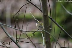 Little forest gnome (Severin Korfhage) Tags: gnome bird regulusregulus goldcrest forest small nature
