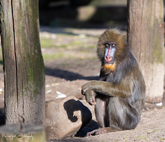 Mandrill (Borreltje.com) Tags: ouwehands dierenpark dierentuin zoo animals animal wildlife natrure