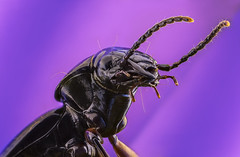 Clock Beetle (John Joslin) Tags: insect black beetle clock wildlife closeup macro portrait antenna bug colour focusstacking mouth little extreme