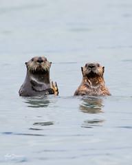 Sea Otters (m_Summers) Tags: ocean seaotter starfish otter marksummers wildlife mammal alaksa marine animal