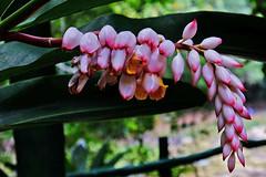 DSCF9910 Shell Ginger (Susan Walker QP) Tags: ginger pink flower cuba nature caribbean