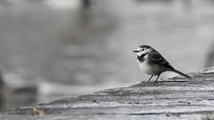 Wagtail (LouisaHocking) Tags: gardenbird bird southwales cyfarthfapark cyfarthfa park wild wildlife british nature merthyr merthyrtydfil woods stone wagtail