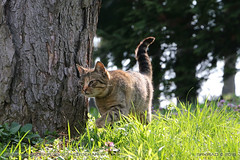 On the move (srkirad) Tags: animal pet cat domestic outdoor wood forest tree grass sunny bokeh blur dof depthoffield focused tail eyes