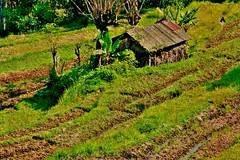 INDONESIEN, Bali ,unterwegs nach Klungkung (Reisterrassen) 18024/11261 (roba66) Tags: bali urlaub reisen travel explore voyages rundreise visit tourism roba66 asien asia indonesien indonesia insel island île insulaire isla reisterrassen rice ricefields reis green grün landschaft landscape paisaje nature natur naturalezza