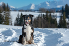 Happy (Flemming Andersen) Tags: landscape nature mountains bordercollie yatzy dog outdoor snow animal sucháhora žilinaregion slovakia sk