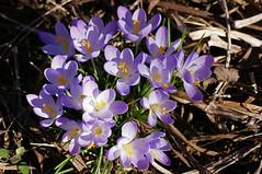 Krokus / crocus (HEN-Magonza) Tags: botanischergartenmainz mainzbotanicalgardens rheinlandpfalz rhinelandpalatinate deutschland germany frühling spring krokus crocus