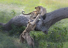 """""""Nope, You Cannot Come Up Here."""" (Kitty Kono) Tags: lioncubs serengeti playing kittyrileykono tanzania africa"""