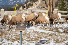 Radium Hot Springs, British Columbia, Canada - Janurary 20, 2019: Rotary Park is taken over by a herd of bighorn sheep in winter. Focus on sign, intentionally blurring of the animals (m01229) Tags: rock ram cuteanimal herd cute mammal happysheep brown animal ovis bighorn wild ditch canadensis roadside outdoors horned ungulate lamb sheep horns wildsheep invasion mountains horn nuisance female grazing gather sign bighornsheep fur rotarypark eating big wildlife nature animalsinthewild park lookingup radiumhotsprings ewe mountain
