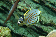 headstart (BarryFackler) Tags: butterflyfish kikakapu fish sealife animal fauna seacreature marinelife pacificocean undersea 2019 aquatic ornatebutterflyfish chaetodonornatissimus cornatissimus bigislanddiving barronfackler bigisland barryfackler being vertebrate coralreef threadfinbutterflyfish biology creature coral bay zoology nature marineecology marine marinebiology marineecosystem water westhawaii life reef reeffish tropical underwater wildlife saltwater diver island organism polynesia scuba outdoor kona honaunaubay ocean pacific sea sealifecamera sandwichislands seawater diving dive hawaii hawaiiisland hawaiicounty honaunau hawaiidiving hawaiianislands konacoast konadiving explored explore inexplore
