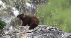 USA WY- Grand Teton National Park - (mda'skaly) Tags: marmotte marmot nature wyoming grandtetonnalpark wildlife animaux