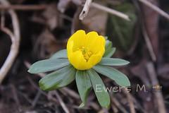 Frülingserwachen (Ewers M.) Tags: canoneos1300d canon outside drausen spring frühling flower blumen ontheway unterwegs nature natur