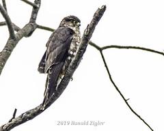Merlin first: in my backyard IMG_3187 (ronzigler) Tags: merlin falcon birdwatcher bird avian wildlife nature birdofprey raptor
