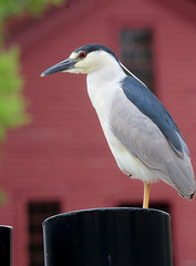 Black-Crowned Night-Heron (peterkelly) Tags: digital canon 6d dearborn encarnado michigan thehenryford unitedstatesofamerica unitedstates usa us northamerica greenfieldvillage libertycraftworks blackcrownednightheron bird post red