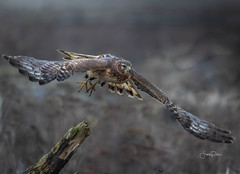 Burst into flight (frankpaliphotography) Tags: background bird birds blue brown circus cyaneus feathers female field flight flying harrier hawk hunting isolated marsh nature northern ornithology outdoors predator prey raptor sky wild wildlife wings