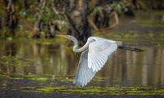eastern great egret (revisited) (Fat Burns ☮) Tags: easterngreategret ardeamodesta waterbird bird australianbird fauna australianfauna sandycamprdwetlands nikond500 sigma150600mmf563dgoshsmsports