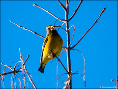 Evening Grosbeak (Coccothraustes vespertinus) (Steve Arena) Tags: eveninggrosbeak grosbeak finch winterfinch coccothraustesvespertinus groveton cooscounty newhampshire 2018 nikon d750 bird birds birding borealbirds